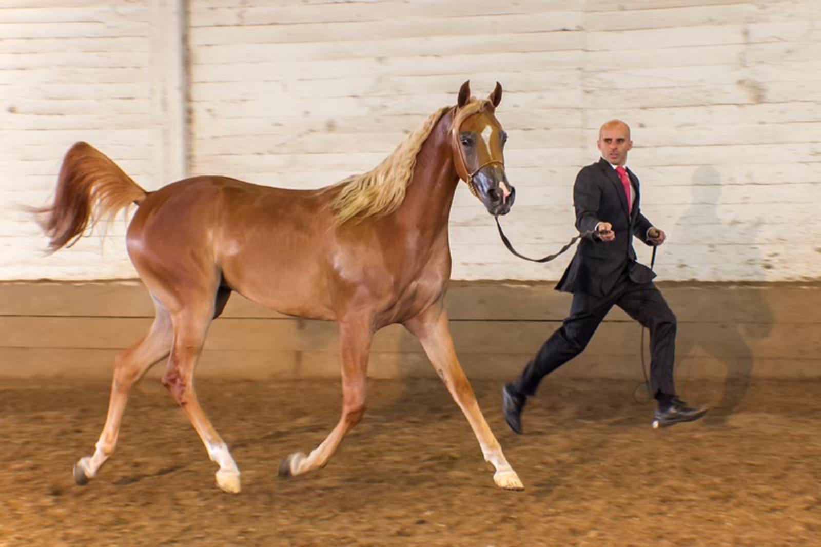Expo caballos árabes